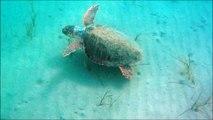 Turtle in Zakynthos (Zante)