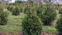 2018 Snow Bomb May Damage Your Leyland Cypress Trees