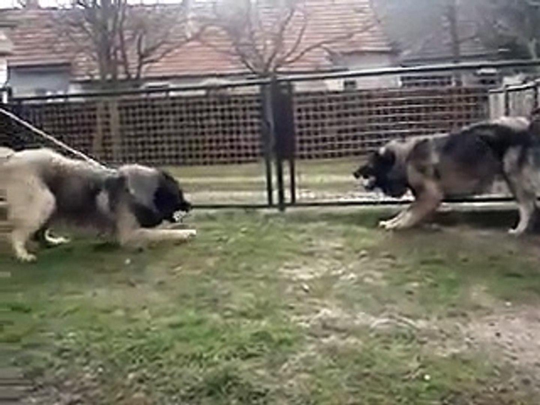 KARS KAFKAS COBAN KOPEGLERi ATISMA - CAUCASiAN SHEPHERD DOG vs