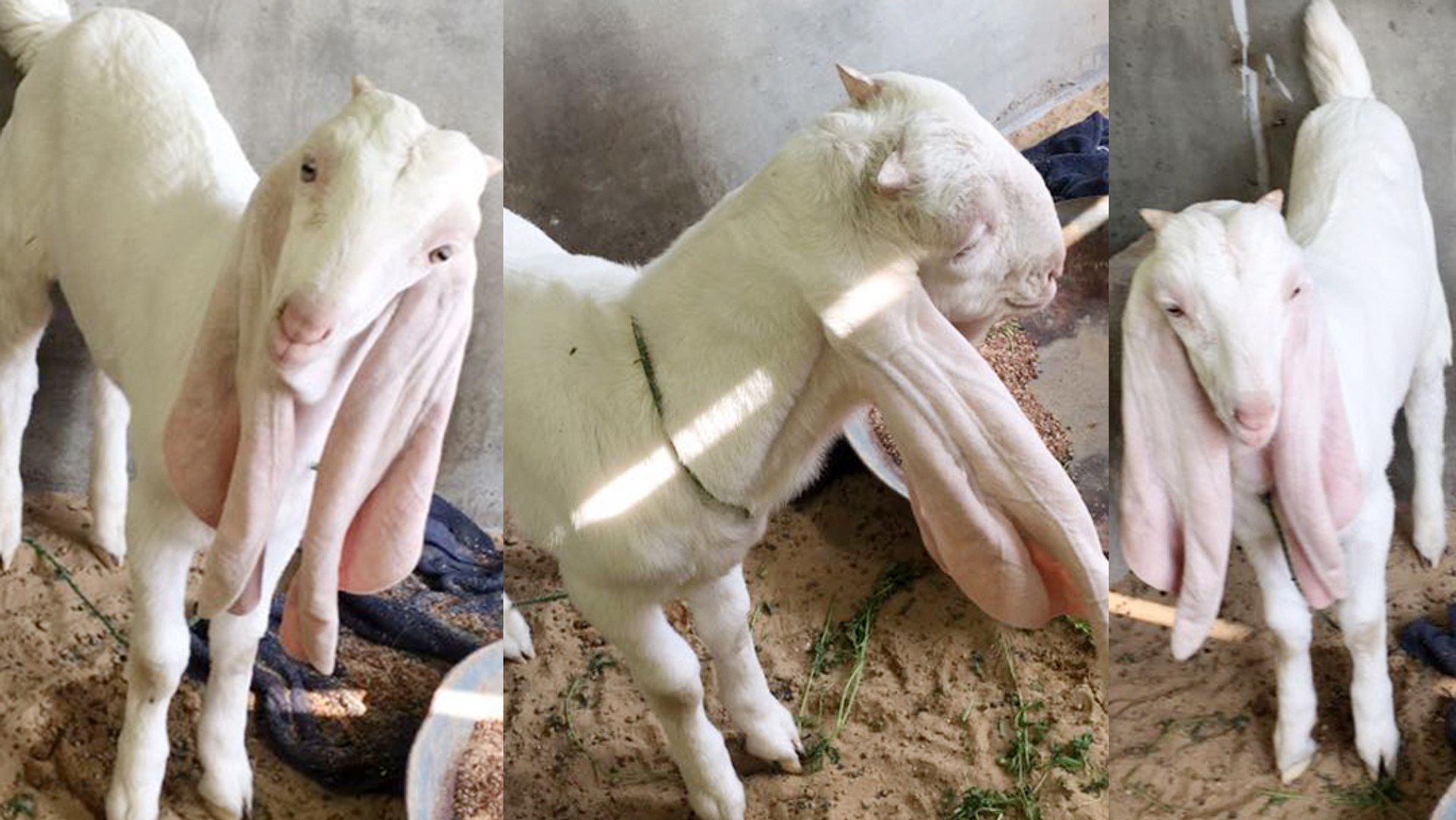 Gulabi Breed Pure Gulabi Goat In Full White Color Long Air Double Bone Karachi Livestock Goat Market Online Video Dailymotion The gulabi gang (from hindi gulabi, pink) is a vigilante group. gulabi breed pure gulabi goat in full white color long air double bone karachi livestock goat market online