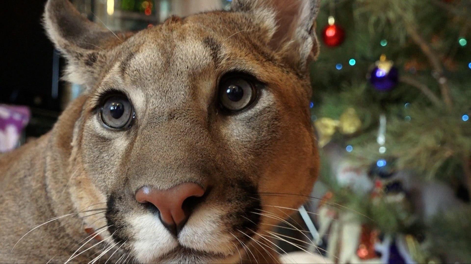 شاهد: نمر البوما