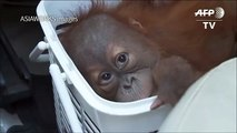 Baby orangutans rescued in Thai police sting[3]