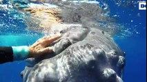 Kadın dalgıcı köpek balığından koruyan balina…
