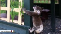 Authorities Launch Investigation After Koala Found Screwed To Post