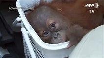 Baby orangutans rescued in Thai police sting[1