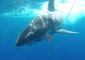 Shark Buffets Diving Cages in Close Encounter Off Mexico