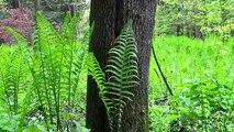 Wild Spring Delicacies- Ramps, Morels, Fiddleheads, Birch Sap