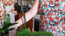 Пересадка орхидеи Фаленопсис с гнилыми корнями.