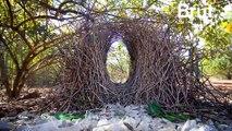 Pour attirer les femelles, ces oiseaux construisent les nids les plus complexes au monde