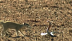 snake vs mongoose fight to death  Mongoose Attack and killing Black Mamba Snake  - amazing animal fighting scense