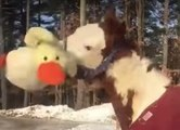 Un cheval s'amuse avec une peluche dans la neige