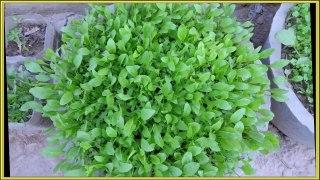 dhaniyan and palak growing O¯U¾U†UŒO§Uº O§UˆO± U¾