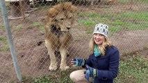 Un lion fait peur à une journaliste / A lion scares a journalist