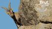 Pourquoi les caprins sont d'aussi bons grimpeurs