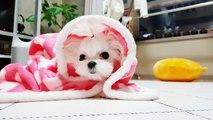 Teacup maltese cutest korea puppy - Teacup puppies KimsKennelUS