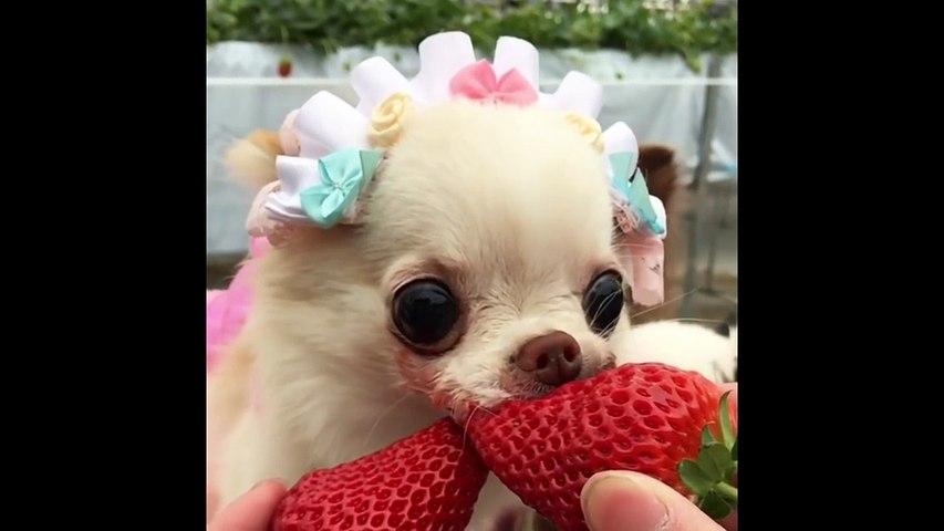 Dog Really Enjoys Strawberry - Chihuahua Eats Strawberry Passionately In Slow Motion
