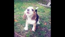 Baby Beagle Has The Cutest Howl - Baby beagle's howl is terrifying!