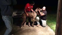 """Great Dane """"Duke"""" Reuniting with his Long-Lost Owners 2 Years after Going Missing"""