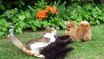 """Pomeranian (like Boo) puppies """"attack"""" (play with) the cat!!!"""