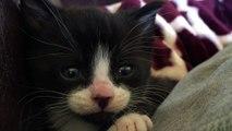 Tired 4 week old foster kitten meows sweetly while falling asleep.