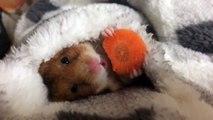 Un hamster mange sa carotte sous la couette et c'est trop mignon