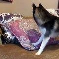 Un chien tente de faire sortir un chat de sous un coussin mais n'y arrive pas