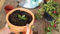 Substrato para suculentas - Plantando 2 espécies de suculentas | Página da kika