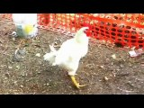 Animal Funny Fight - Cock VS Dog fights - Viral Funny
