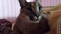 Il a un très très gros chat de compagnie... Caracal apprivoisé