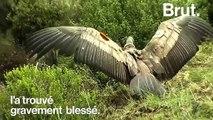 Après plus d'un an passé en cage, un condor des Andes retrouve la liberté au Pérou