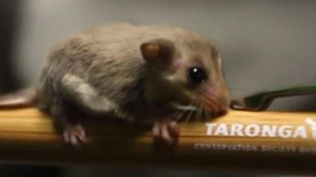 20 Joeys Boost Taronga Zoo's Feathertail Glider Population