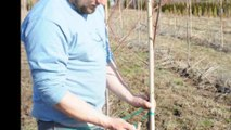Caring for your red maples....pruning a small  maple tree