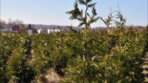 Demo on    How We Trim Our Green Giant Arborvitae