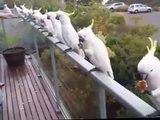 Wild Cockatoos having lunch