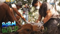 Born to Be Wild: Treating a baby carabao with a fungal infection