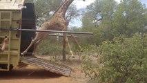 Cette pauvre girafe rate complètement sa sortie!