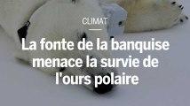 La fonte de la banquise menace la survie de l'ours polaire, selon une nouvelle étude