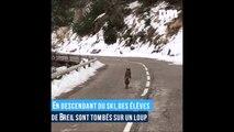 Un loup aperçu en pleine route à Breil dans les Alpes par des élèves de retour d'une sortie ski