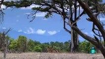 +PELEAS DE NIMALES  ANIMALES SALVAJES,LAS MANGOSTAS,DOCUMENTAL,ÁFRICA,DISCOVERY Documental Fauna