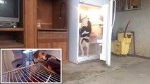 Malin et affamé ce chien ouvre le frigo et vole la pizza !