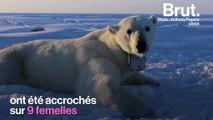Avec la fonte de la banquise, les ours polaires dépensent plus d'énergie qu'ils n'en stockent