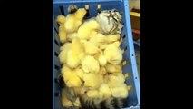 Ce chat se détend dans son bain de poussins... Trop chou