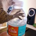 Squirrel helps himself to an ice cold water bottle