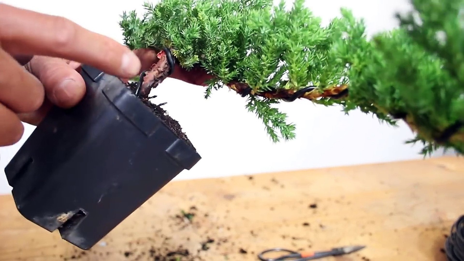 How to Create a Bonsai with Movement : Wiring a bonsai tree trunk Wiring Juniper Bonsai on wiring bonsai step by step, trim juniper bonsai, hollywood juniper bonsai, shaping juniper bonsai, chinese juniper bonsai, shimpaku juniper bonsai, wiring rosemary bonsai, starting juniper bonsai,