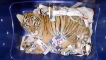 Des douaniers découvrent un bébé tigre caché dans un colis