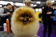The Westminster Kennel Club Dog Show: All You Need to Know