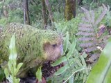CUTE! Meet the Kakapo, world's only flightless parrot and heaviest parrot in the world - ABC15 Digital