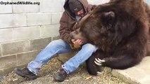Même pas peur, il glisse sa main dans la gueule de cet ours géant pour le soigner !