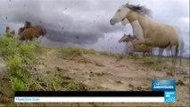États-Unis : Les Mustangs, ces chevaux sauvages mystiques, cauchemar des agriculteurs