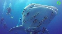Des plongeurs nagent avec cet énorme requin baleine... Experience inoubliable